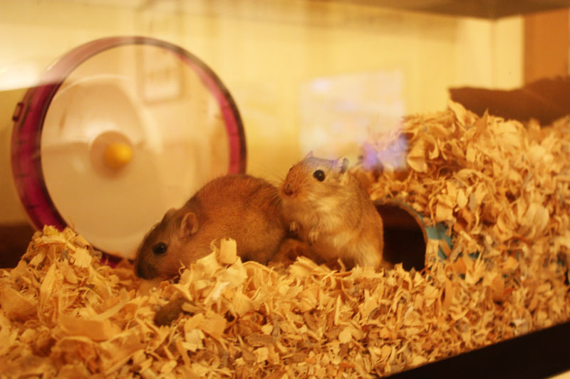 Two-gerbils